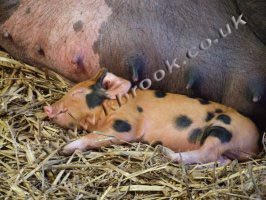 Oxford Sandy and Black Piglet
