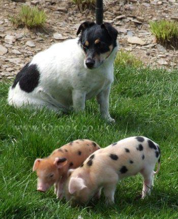 Agatha and Geoffrey Oxford Sandy and Black Piglets enjoying the sunshine