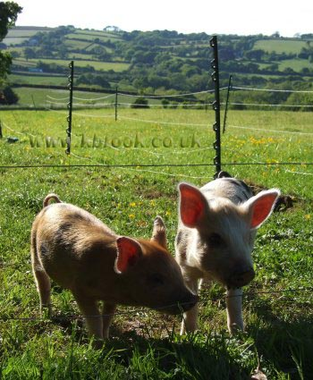 Geoffrey and Agatha Oxford Sandy and Black Piglets outside