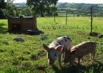 Geoffrey and Agatha Oxford Sandy and Black Piglets contemplating breaking out